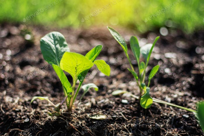 vegetables grown in plot