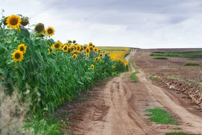 edge of sunflower field in summer