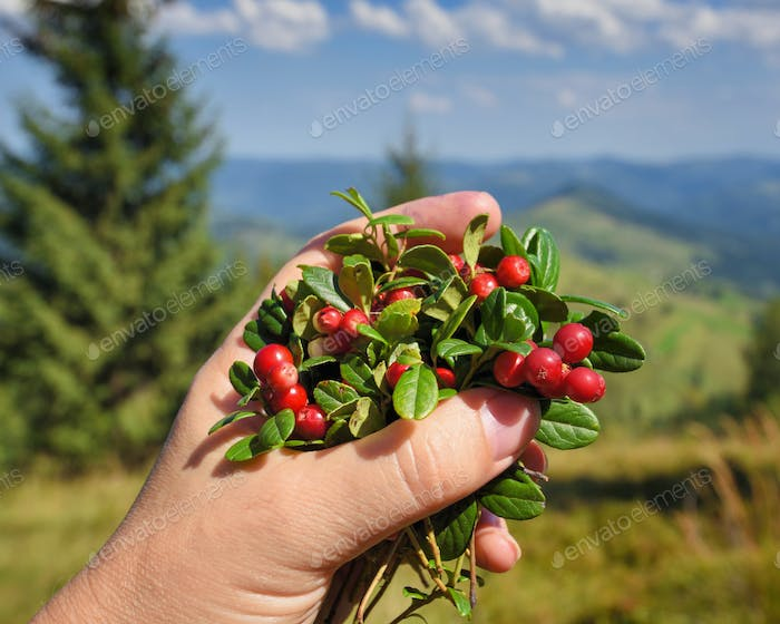 Female hand with cowberries twigs with berries and leaves on mou