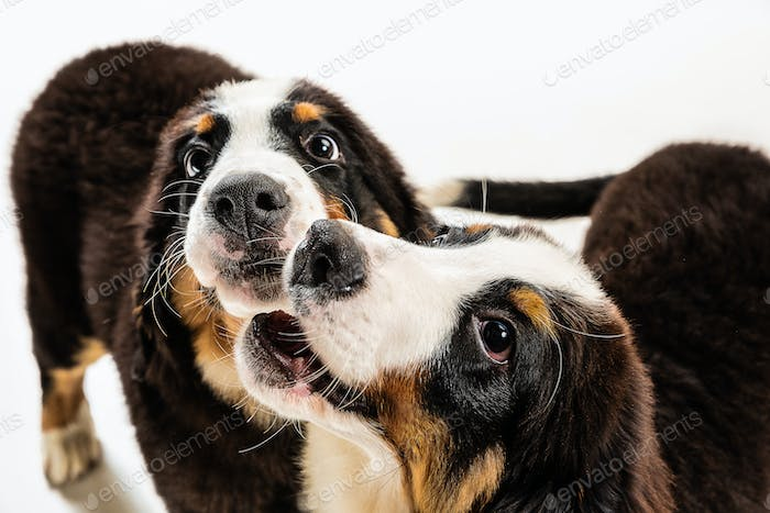 Studio shot of berner sennenhund puppies on white studio background