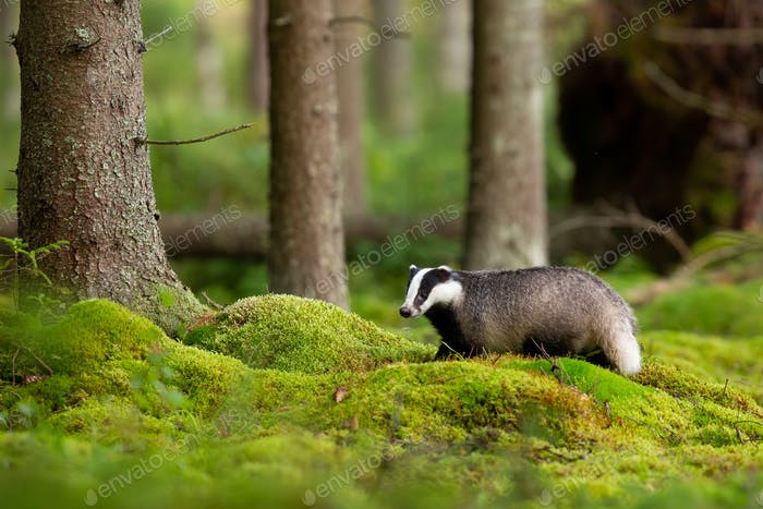 Fluffy european badger looking in enchanting forest with green moss
