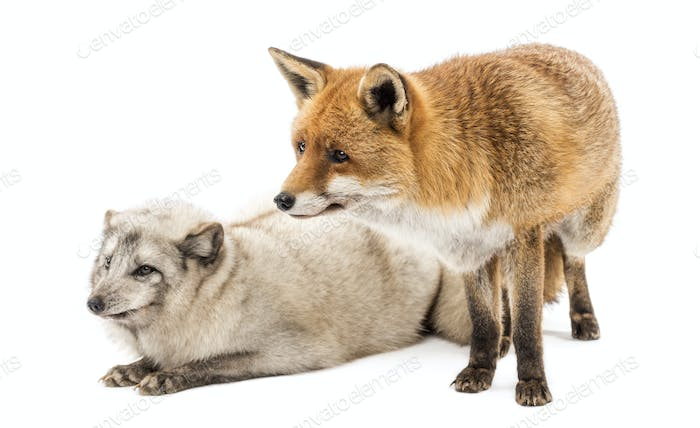 Thumbnail for Red Fox, Vulpes vulpes, standing and Arctic Fox, Vulpes lagopus, lying, isolated on white