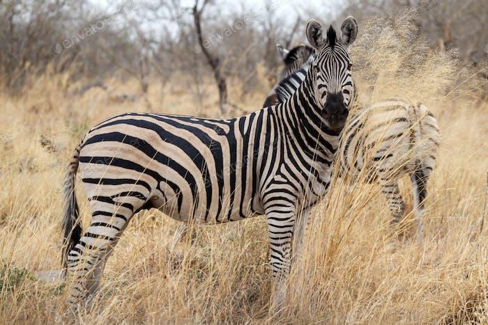 Zebra - Okavango Delta - Moremi N.P.