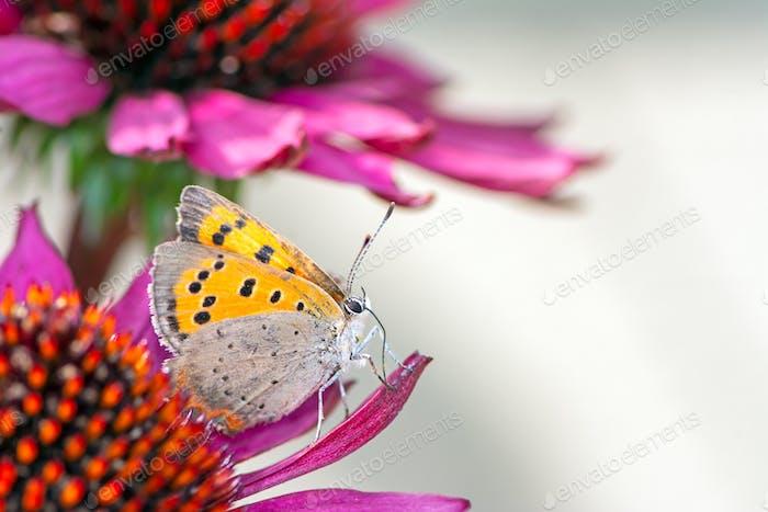 Gemeinsame Kupfer Schmetterling sammeln Nektar auf einer Blume