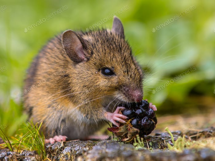 Wild field mouse eating raspberry