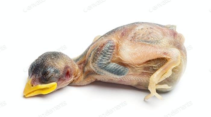 Dead young House Sparrow, Passer domesticus, isolated on white