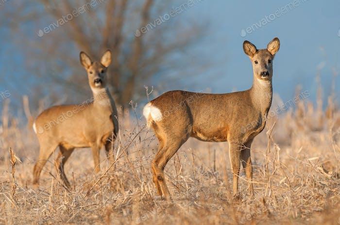 Two wild roe deers in a field