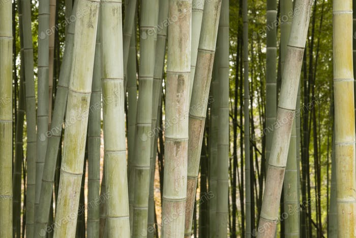 Detail of bamboo forest