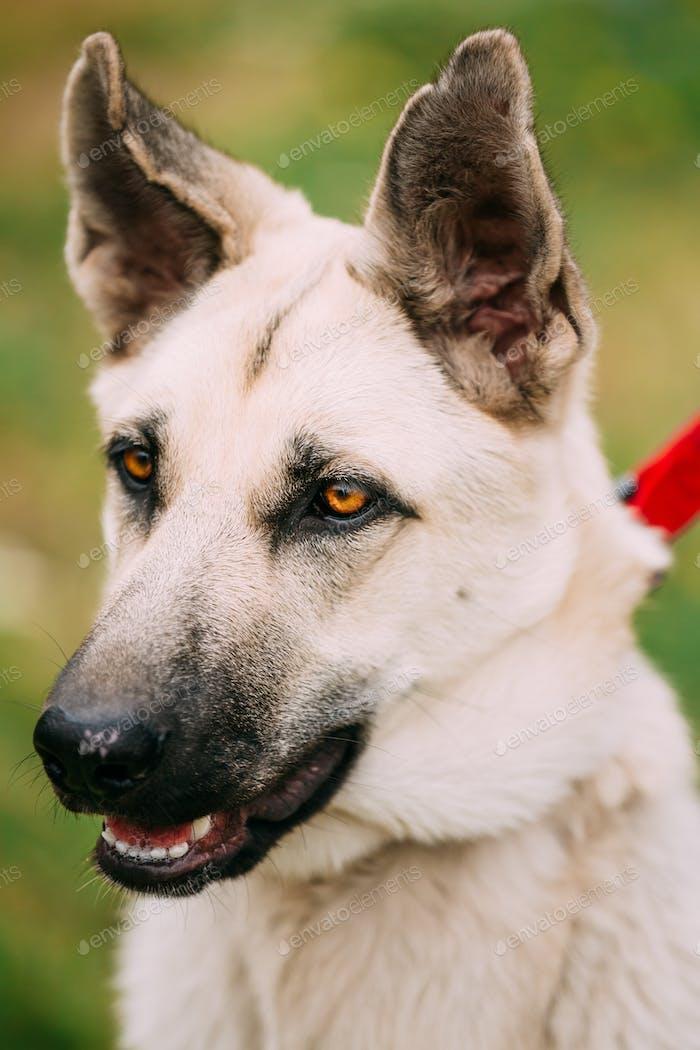 Nahaufnahme Porträt von jungen Happy East European Shepherd - Veo Or