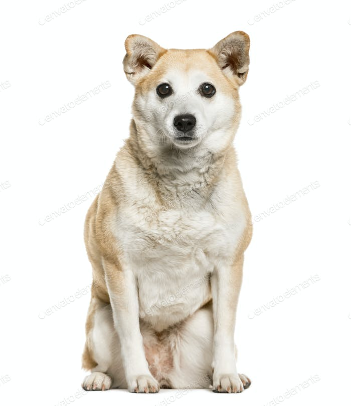Shiba Inu sitting, isolated on white