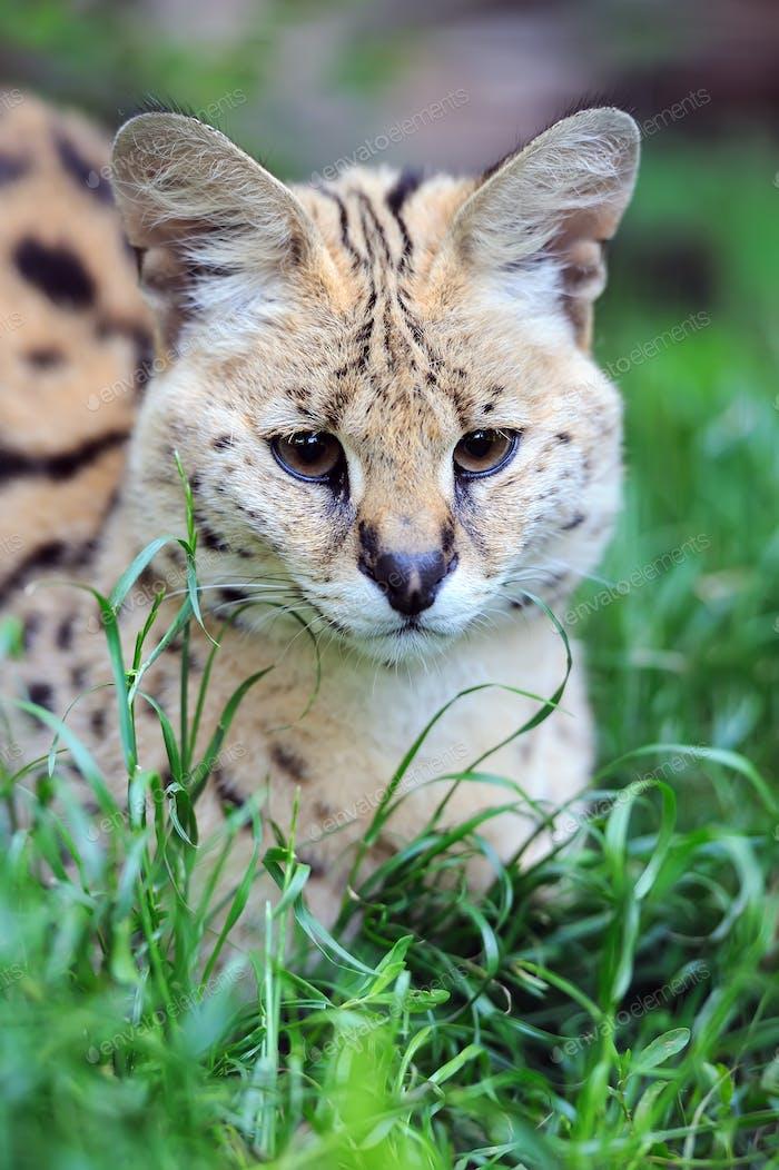 Serval cat (Felis serval)