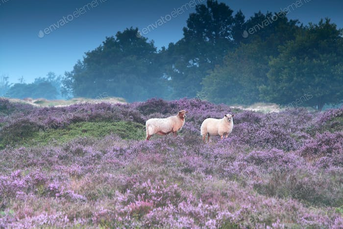 sheep on pink pasture with heather