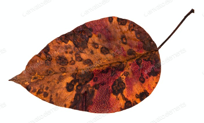 decayed dried leaf of apple tree isolated