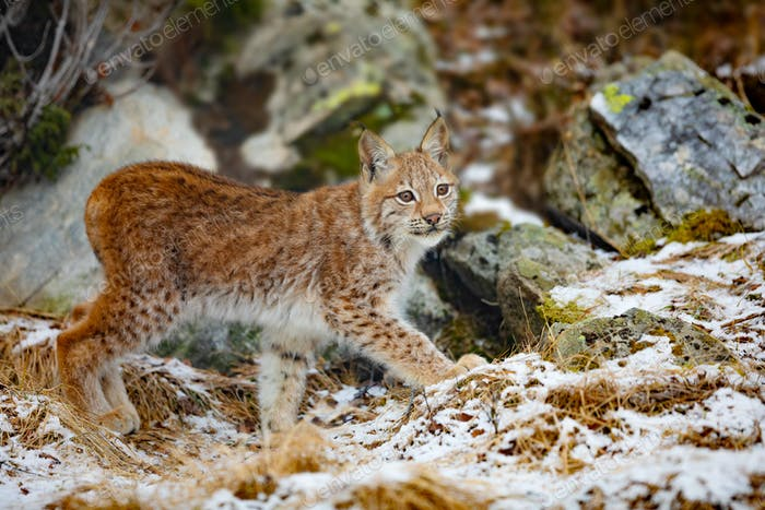 Beautiful eurasian lynx walks in the forest at early winter