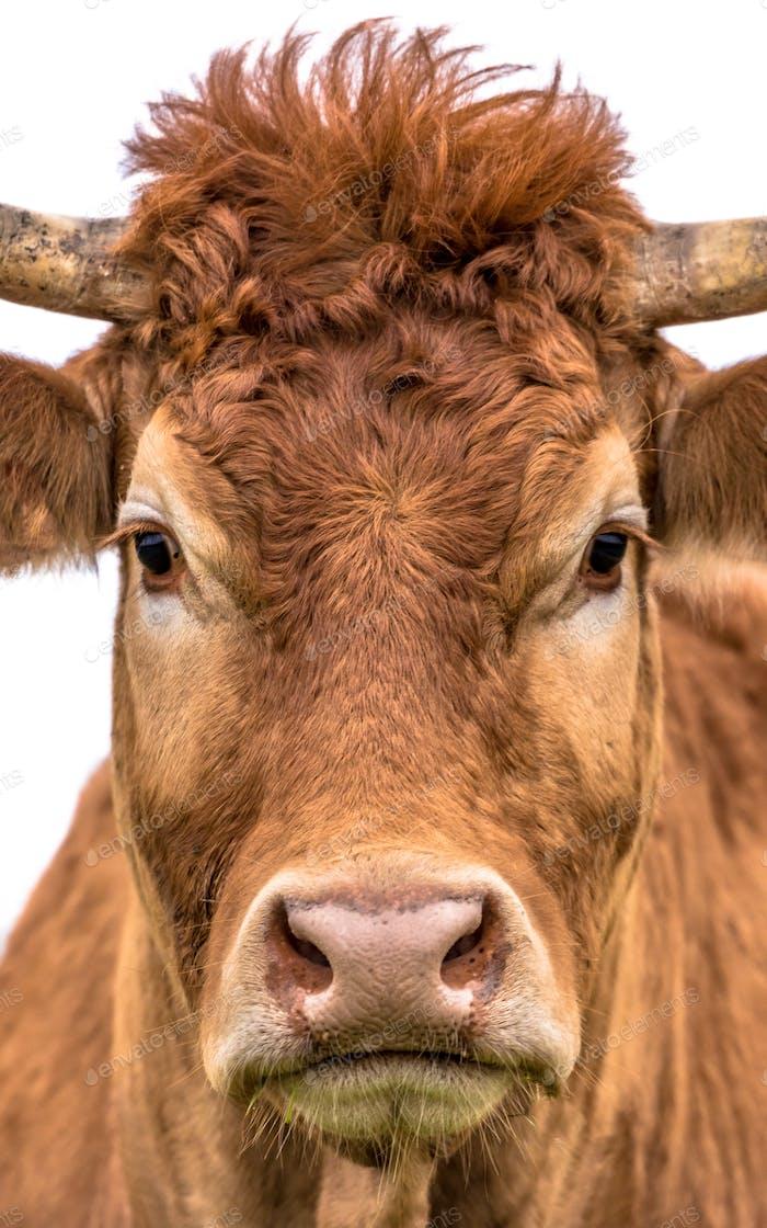 Lustige Kuh Nahaufnahme Porträt