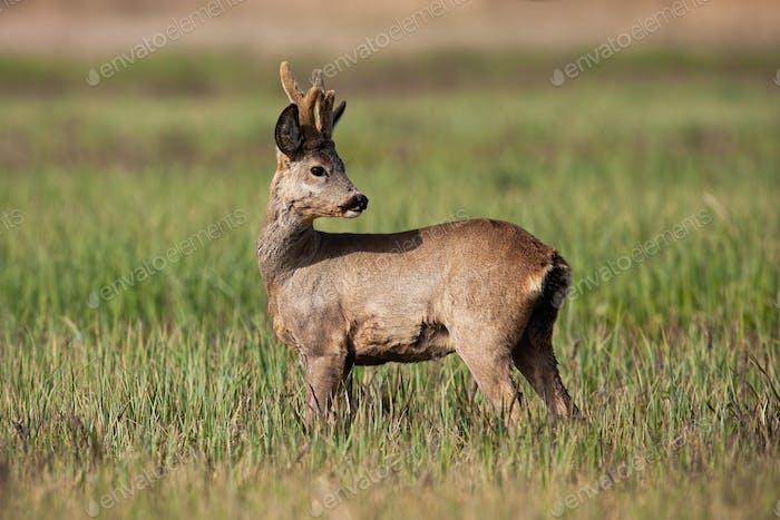 Male roe deer buck with winter coating and growing antlers looking back on meadow