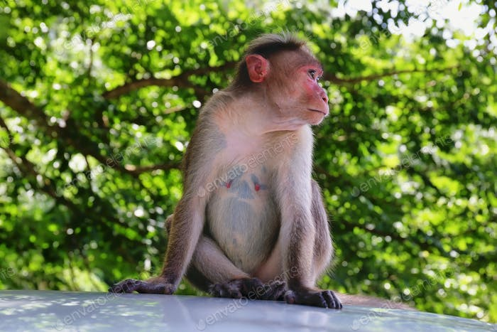 Wild Monkeys near Thekkady, Kerala, India