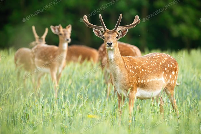 Group of fallow deer stags standing on meadow in the summer
