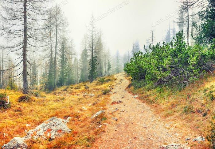 Herbst neblig Landschaft mit Pinien und Lärchen in Bergen