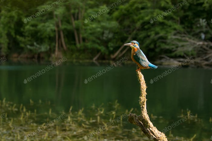 Wide angle of common kingfisher sitting on a branch above water looking for fish
