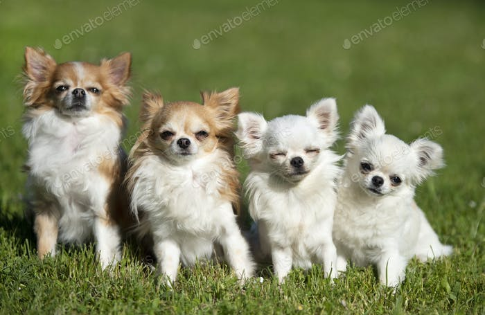 chihuahuas in nature