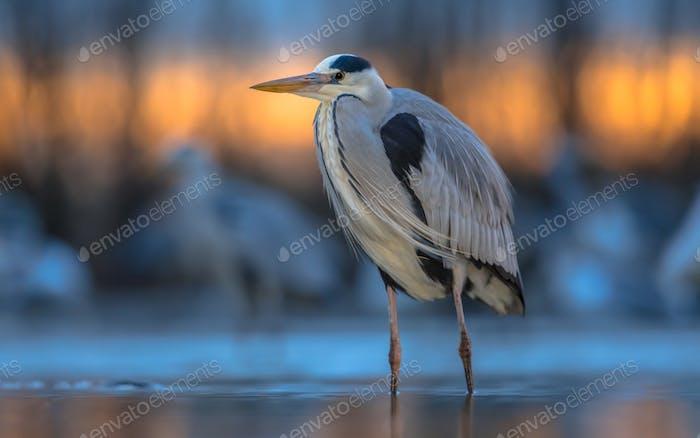 Grey heron hunting stationary in lake