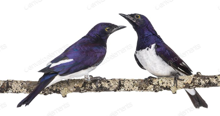 Two Males Violet-backed Starling on a branch - Cinnyricinclus leucogaster - isolated on white