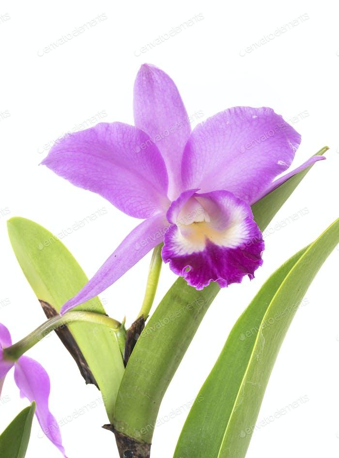 Cattleya orchid in studio
