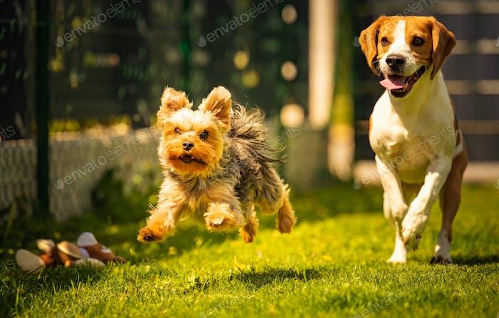Nette Yorkshire Terrier Hund und Beagle Hund chese einander im Hinterhof