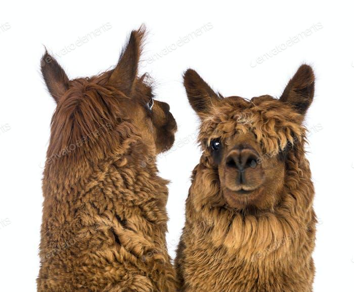 Nahaufnahme von zwei Alpakas, einer blickt zurück