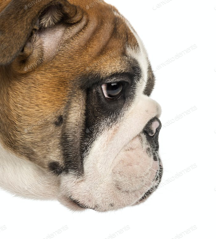 Close-up of an English Bulldog puppy profile, 3,5 months old, isolated on white