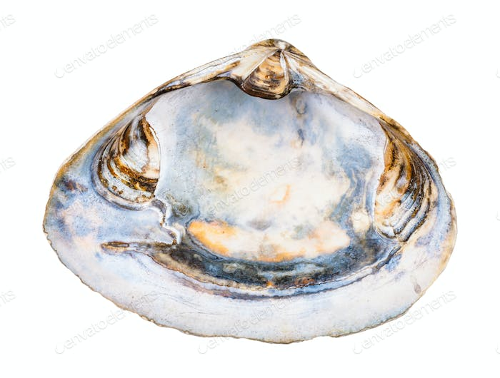 empty old seashell of clam isolated on white
