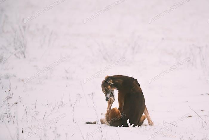 Hunting Sighthound Hortaya Borzaya Dog Licking His Paw At Winter