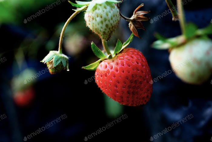 Fresh strawberry on tree