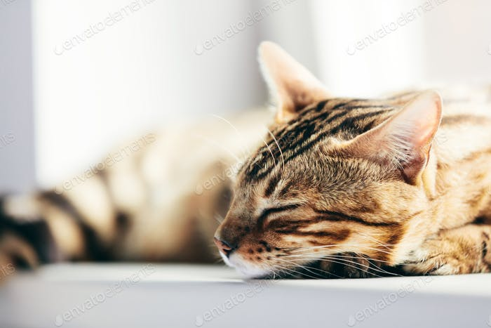 Relaxed Bengal cat sleeping happy while lying on a window sill.