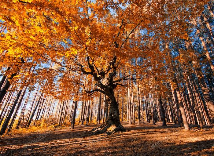 Autumn Old Tree
