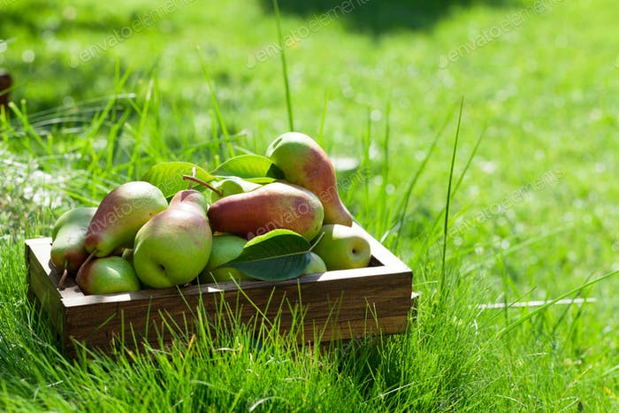 Garden pears in wooden box