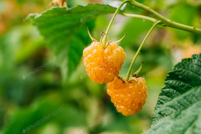 Yellow Golden Raspberries. Growing Organic Berries Closeup. Ripe