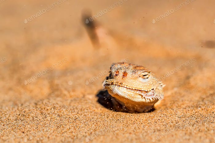 Spotted toad-headed Agama buried in sand close