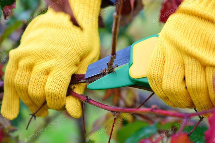 Hands with gloves of gardener doing maintenance work, pruning bu