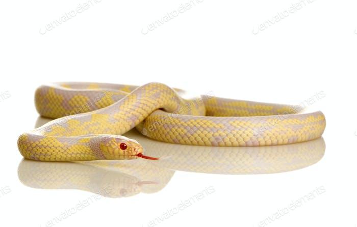 Corn Snake - Elaphe guttata