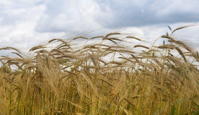 Reife Weizenohren