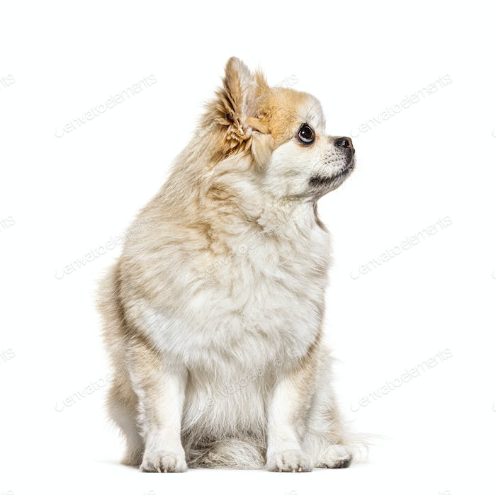 Side view of a Pomeranian looking up, isolated on white