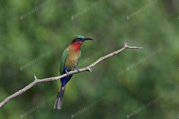 Red-throated bee-eater (Merops bulocki)