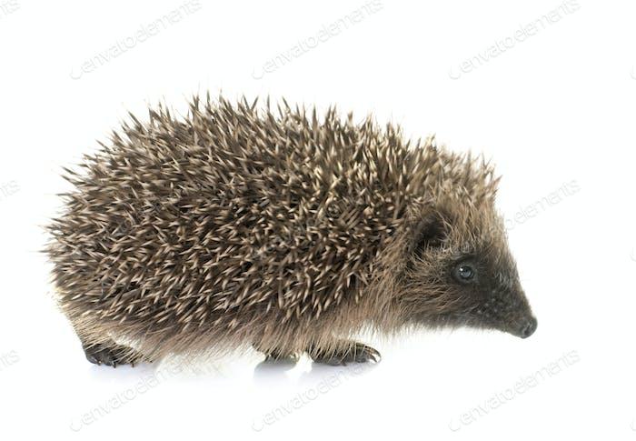 baby hedgehog in studio