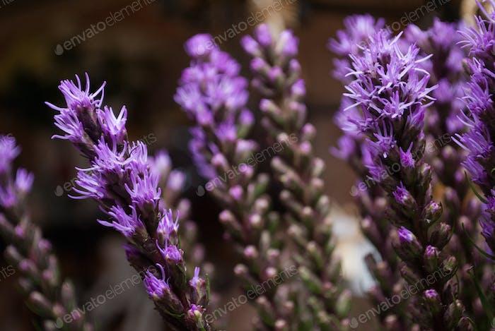 violet Liatris spicata