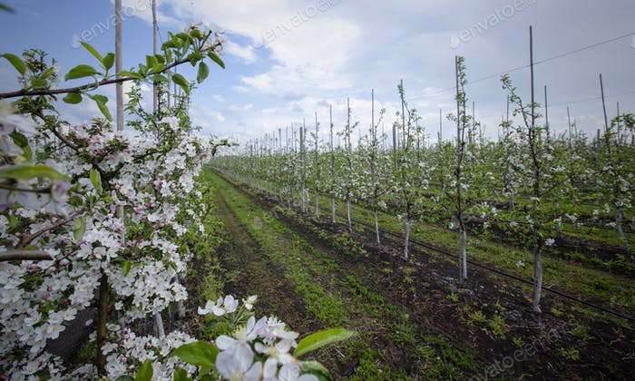 Apple trees plantation. Row of flowering seedlings with footpaths and grass