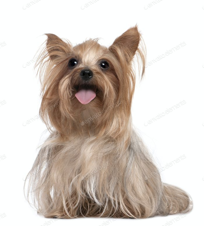 Yorkshire Terrier panting (3 years old)