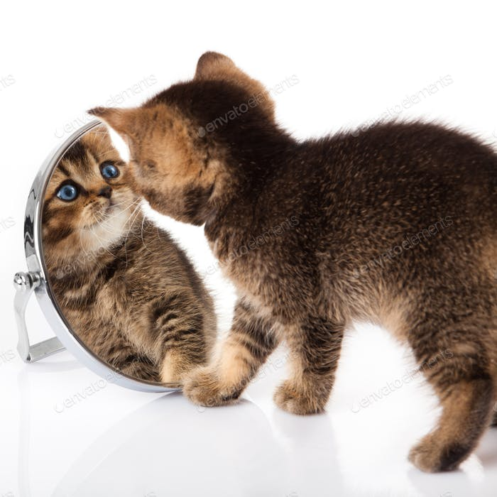 Das Kätzchen mit blauen Augen sieht in einen Spiegel. Katze, die in