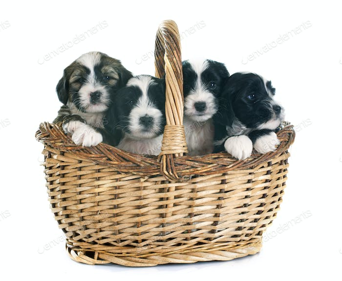 puppies tibetan terrier